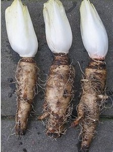 Chicory_root_extract